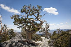 Bristle Cone Pine Tree. A Bristle Cone Pine Tree on a mountain side rock out cropping Royalty Free Stock Photo