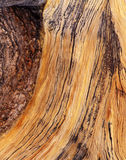 Bristle Cone Pine Tree Bark. Close up of a Bristle Cone Pine Tree royalty free stock image