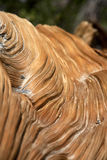 Bristle Cone Pine Tree texture Stock Image