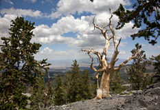 Bristle Cone Pine Tree at the top of the ridge. A Bristle Cone Pine Tree on a mountain side rock out cropping at the top of a ridge stock photography
