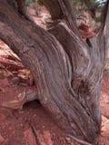 Bristle Cone Pine wood Stock Image