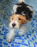 Bristle fox terrier Stock Photo