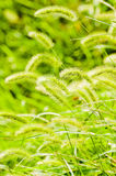 Bristle grass. Photo is green bristle grass blackground stock photography