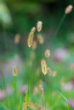 Bristle grass Royalty Free Stock Photo