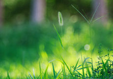 Bristle grass. Green bristle grass in summer Royalty Free Stock Images