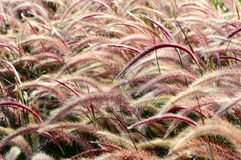 Bristle grass Herb Stock Images
