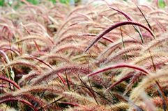 Bristle grass Herb Royalty Free Stock Images
