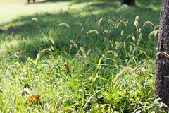 Bristle grassa also known as foxtail royalty free stock photos