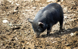 Bristle pig baby Stock Images