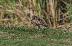 Bristle-thighed Curlew Numenius tahitiensis Royalty Free Stock Images