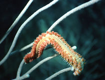 Bristle worm Royalty Free Stock Image