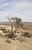 Bristlecomb在犹他沙漠的杉树。 免版税图库摄影