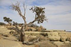 Bristlecomb在犹他沙漠的杉树 图库摄影