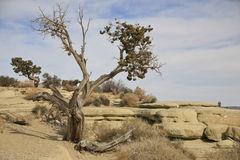 Bristlecomb Pine tree, pinus longaeva, on Utah des. A withered Bristlecomb pine tree, pinus longaeva, fighting for survival on the southern Utah desert.  It was Stock Photography