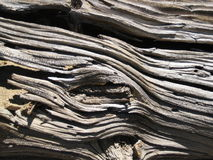 Bristlecon sörjer trä, Kalifornien Fotografering för Bildbyråer