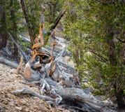 Bristlecone杉木在世界的最旧的树在晴天 库存照片