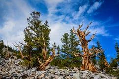 Bristlecone杉木树丛足迹-大盆地国家公园-贝克 免版税库存图片