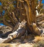 bristlecone杉木树干 库存图片
