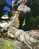 bristlecone杉树 库存照片