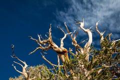 Bristlecone杉树 免版税库存图片