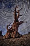 Bristlecone松树在森林里 免版税库存照片