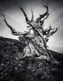 Bristlecone白色山的杉木森林,东加利福尼亚,美国 图库摄影