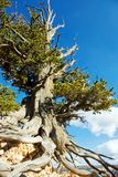 Bristlecone Royalty Free Stock Image