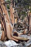 Bristlecone Kiefer-Wald Lizenzfreie Stockbilder