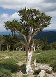 Bristlecone Pine. This Bristlecone Pine is one of hundreds found near the summit of Mount Evans, Colorado Royalty Free Stock Photo