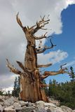 The bristlecone pine. In Great Basin National Park, USA Royalty Free Stock Photography
