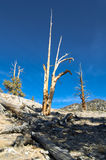 Bristlecone Pine. A slim and lonely bristlecone pine on a hillside in the White Mountains of California Stock Image
