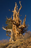 Bristlecone Pine Royalty Free Stock Photos