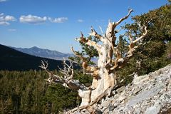 Bristlecone Pine. The ancient Bristlecone Pine trees live to be thouands of years old Stock Photos