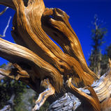 Bristlecone Pine Stock Images
