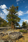 Bristlecone Pine. A lone bristlecone pine tree stands alone on the edge of a cliff Stock Photography