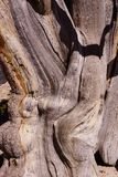 Bristlecone pine ,  bark detail Stock Photos