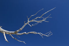 Bristlecone Pine Branch Stock Photos