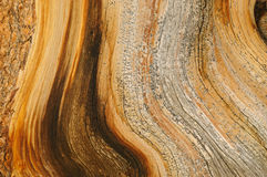 Bristlecone Pine Detail Stock Photography