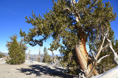 Bristlecone Pine Forest Royalty Free Stock Photography