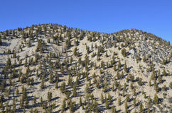 Bristlecone Pine Forest Royalty Free Stock Photos