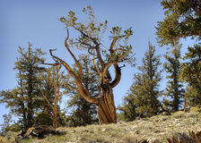 Bristlecone Pine in Forest, California Royalty Free Stock Photo
