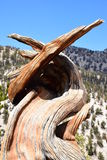 Bristlecone Pine Forest Stock Photos