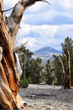 Bristlecone Pine Forest Royalty Free Stock Images