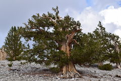 Bristlecone Pine Forest Royalty Free Stock Photo