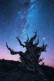 Bristlecone pine forest at night Royalty Free Stock Photography