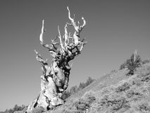 Bristlecone Pine Royalty Free Stock Photography