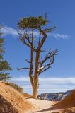 Bristlecone Pine silhouetted against blue sky at Bryce Canyon Royalty Free Stock Images