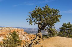 Bristlecone Pine silhouetted against blue sky at Bryce Canyon Stock Images