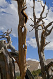 Bristlecone pine skeletons Royalty Free Stock Image
