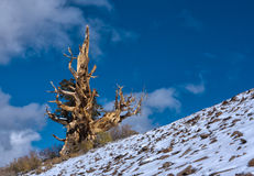 Bristlecone Pine on slope. And ancient Bristlecone pine stands twisted atop a mountain in California Stock Photography